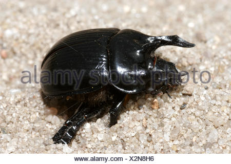 zoology / animals, insect, beetles, Typhoeus typhoeus, sitting on sandy ground, distribution: Europe, North Africa, Additional-Rights-Clearance-Info-Not-Available - Stock Photo