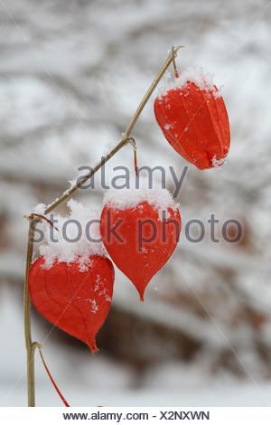 Chinese lantern, Japanese lantern, winter cherry, strawberry tomato (Physalis alkekengi var. franchetii, Physalis franchetii), fruits in winter - Stock Photo