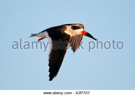 Black skimmer (Rynchops niger) flying to its nocturnal roost, coastal Florida - Stock Photo
