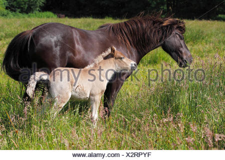 Mare with foal, Iceland pony, pony Iceland, Iceland horse - Stock Photo