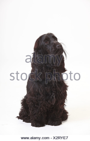 Portrait of black English Cocker Spaniel sitting in front of white background - Stock Photo