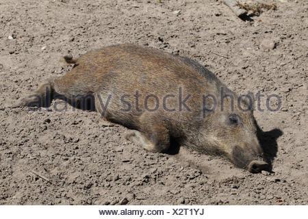 Wild boar, Sus scrofa, young animal sunbathing - Stock Photo
