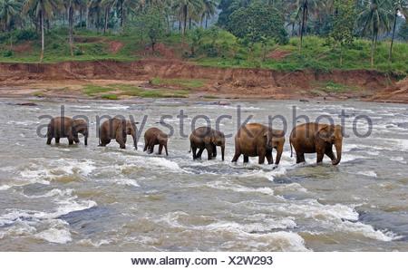 Asian elephant elephas maximus maximus Sri Lanka - Stock Photo