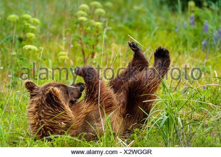 Playtime, coastal brown bear, Ursus arctos, cub rolls in the grass at Sliver Salmon Creek in Lake Clark National Park, Alaska. - Stock Photo