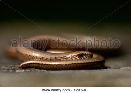 Slow worm, Anguis fragilis - Stock Photo