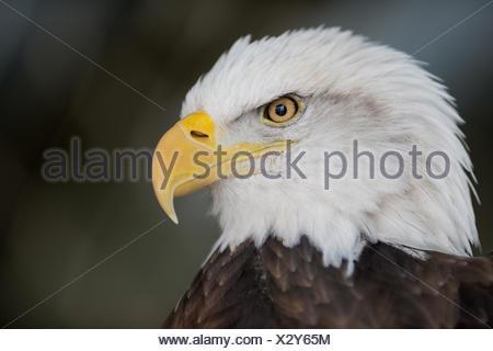 Close-up of an American bald eagle, Haliaeetus leucocephalus. - Stock Photo
