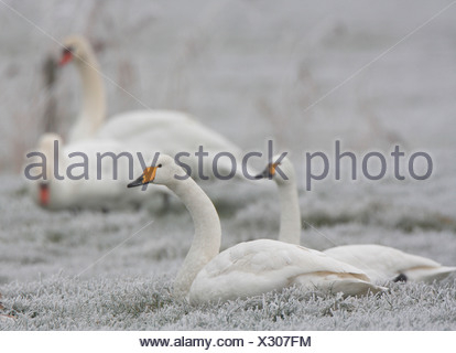 three types of Swans captured in one photo - Stock Photo