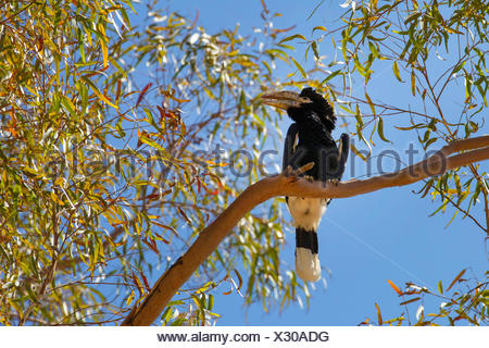 Black-and-white-casqued Hornbill (Bycanistes subcylindricus), sits on a branch in a tree - Stock Photo