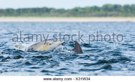 Common bottlenose dolphin (Tursiops truncatus) in bay, Chanonry Point, Moray Firth, Inverness, Scotland, United Kingdom - Stock Photo