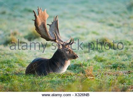 Fallow Deer (Dama dama), buck, lying on a meadow, captive, Bavaria, Germany - Stock Photo