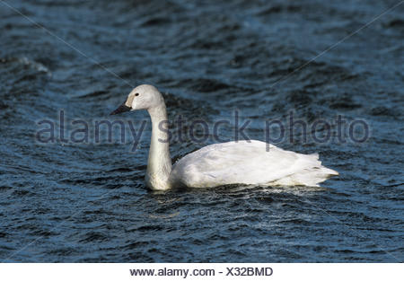 Bewick's Swan - Cygnus columbianus - juvenile - Stock Photo