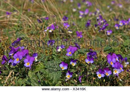 groep bloeiende exemplaren in duingrasland - Stock Photo