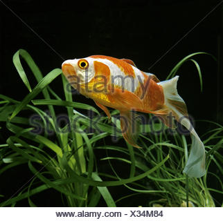 Veiltail Goldfish, carassius auratus - Stock Photo