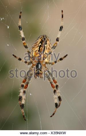 European Garden Spider (Araneus diadematus) sitting in the spiderweb, Germany - Stock Photo