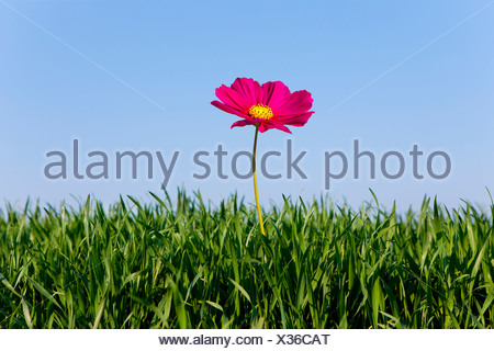 Close up of pink flower growing in green grass against blue sky - Stock Photo