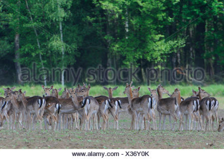 wild, escape, fallow deer, female, wild, dust, field, europe, saxony, herd, - Stock Photo