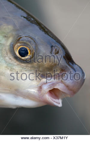 portrait of an adult nase - Stock Photo