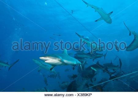 Grey Reef Shark during feeding frenzy, Carcharhinus amblyrhynchos, Osprey Reef, Coral Sea, Australia - Stock Photo
