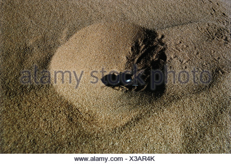 zoology / animals, insect, beetles, Dung Beetle, (Scarabaeus sacer), in sand, Sahara, Algeria, distribution: Southern Europe, Af - Stock Photo