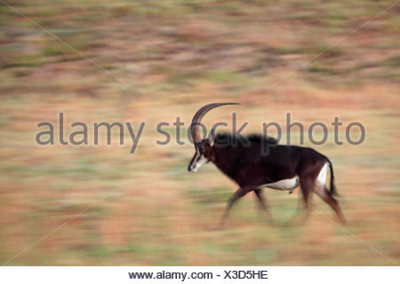 South African Sable Antelope (Hippotragus niger niger), running male, South Africa, Kgaswane Mountain Reserve - Stock Photo