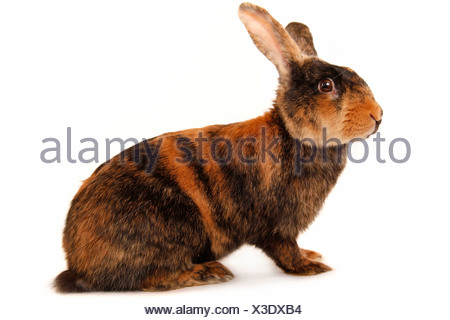 Japaner / Japanese bunny - Stock Photo