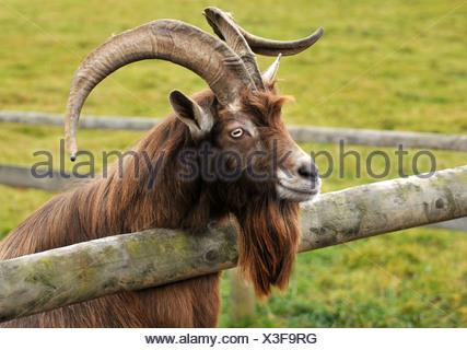 billy-goat - Stock Photo