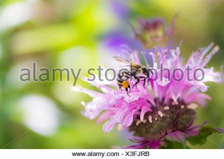 Bee on a scarlet beebalm flower blossom - Stock Photo