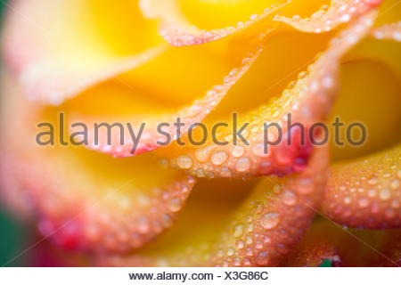 Dew drops on a rose - Stock Photo