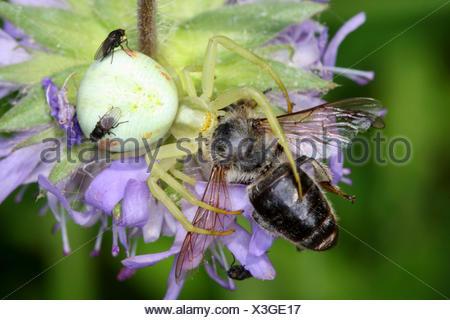 Veraenderliche Krabbenspinne, Veraenderliche Krabben-Spinne (Misumena vatia), mit Beute, Oesterreich | goldenrod crab spider (Mi - Stock Photo