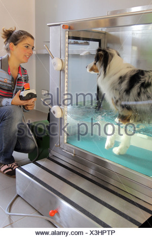 Wees, Germany, an Australian Shepherd dog in the water aerobics in the physiotherapy practice Beastly fit - Stock Photo