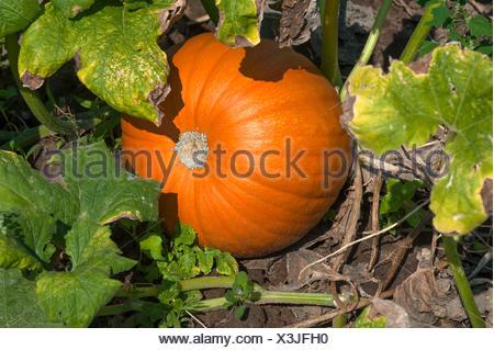 Hokkaido pumpkin, Red Hokkaido (Cucurbita maxima) growing, vegetable growing area in Höfles near Nuremberg, Middle Franconia - Stock Photo