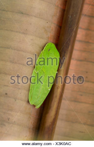 red-eyed treefrog, redeyed treefrog, redeye treefrog, red eye treefrog, red eyed frog (Agalychnis callidryas), resting under banana leaf, Costa Rica - Stock Photo