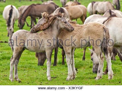 Duelmen pony, Dulmen pony, Duelmener Wildpferd, Dulmener Wildpferd (Equus przewalskii f. caballus), foals in the herd of wild horses in Duelmen, Germany, North Rhine-Westphalia, Duelmen - Stock Photo