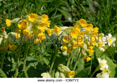 Cowslip Primula veris flowering plants in a grass bank Devon - Stock Photo