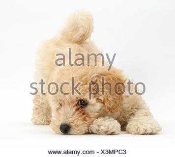 Poochon puppy, Bichon Frise cross Poodle, age 6 weeks in play bow. - Stock Photo