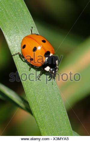 seven-spot ladybird, sevenspot ladybird, 7-spot ladybird (Coccinella septempunctata), on a leaf, Germany - Stock Photo