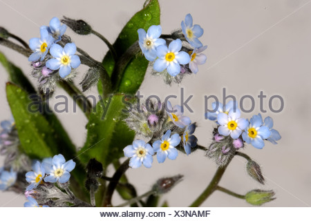 Forget-me-not (Myosotis arvensis) flowers - Stock Photo