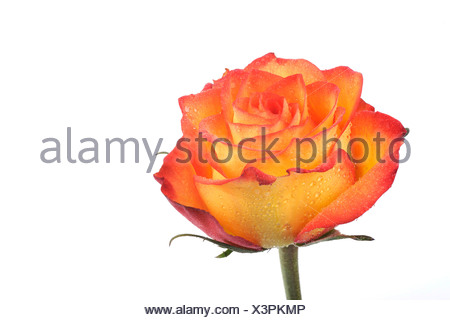 Rose (Rosa), with dew drops - Stock Photo