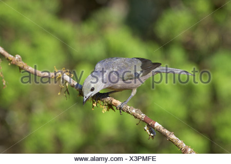Palm tanager (Thraupis palmarum) focussed on something on the ground. - Stock Photo
