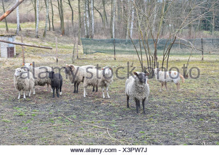 A flock of sheep behind the fence - Stock Photo