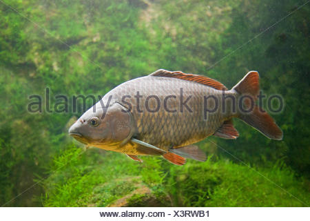 photo of a swimming gibel carp with lightgreen plants in the background - Stock Photo