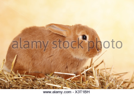 Neuseeländer / rabbit - Stock Photo