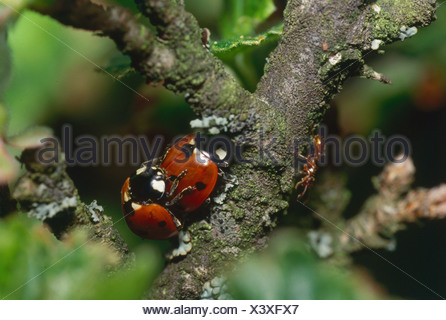 zoology / animals, insect, beetles, ladybirds, sevenspot ladybird, (Coccinella septempunctata), mating on branch, distribution: - Stock Photo