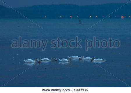 mute swan (Cygnus olor), eating on the lake in the night, Germany, Bavaria, Lake Chiemsee - Stock Photo