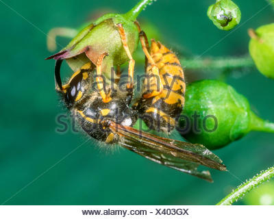Deutsche Wespe (Vespula germanica, Vespa germanica, Paravespula germanica), Wespe bei der Nektaraufnahme an Knotiger Braunwurz ( - Stock Photo