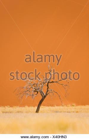 Dead tree in front of Dune 45 - Namib Desert Namibia - Stock Photo