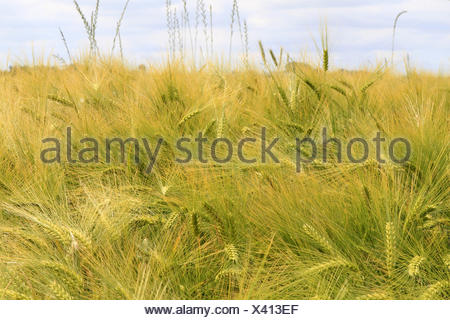 Kornfeld, Weizenfeld, Detail, Aehren, gruen - Stock Photo