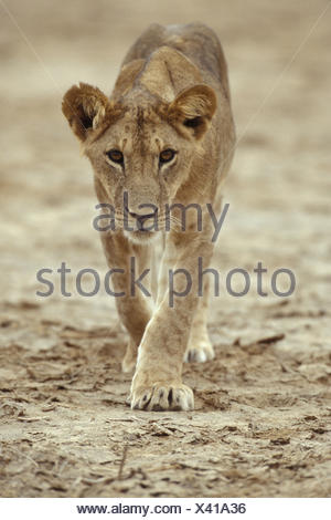 Young Lioness wandering through the land of her group and looks directly to the lense. - Stock Photo