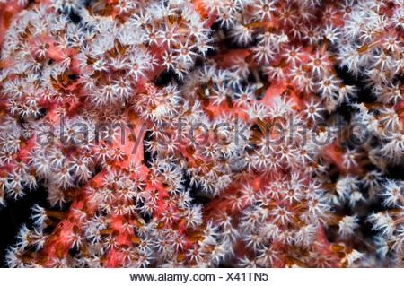 Pink soft coral Siphonogorgia godeffroyi with polyps clustered on the end of the branches  Acoel flatworms Waminoa sp on the - Stock Photo