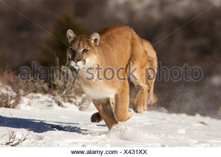 Cougar running in the snow, Montana, USA - Stock Photo
